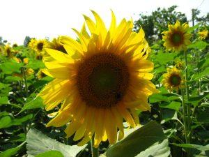sun-flower_3301